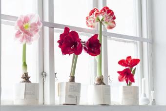 https://cf.ltkcdn.net/christmas/images/slide/276662-850x567-amaryllis-flowers.jpg