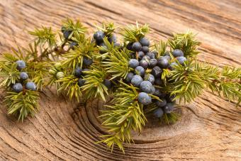 juniper branch and berries