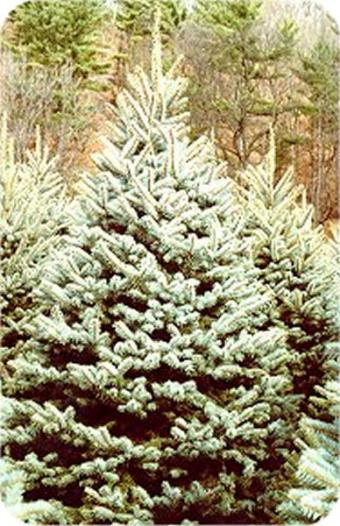 Colorado_Blue_Spruce.jpg