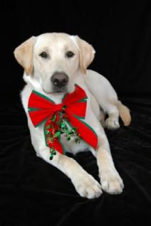 Christmas card featuring a Labrador Retriever dog