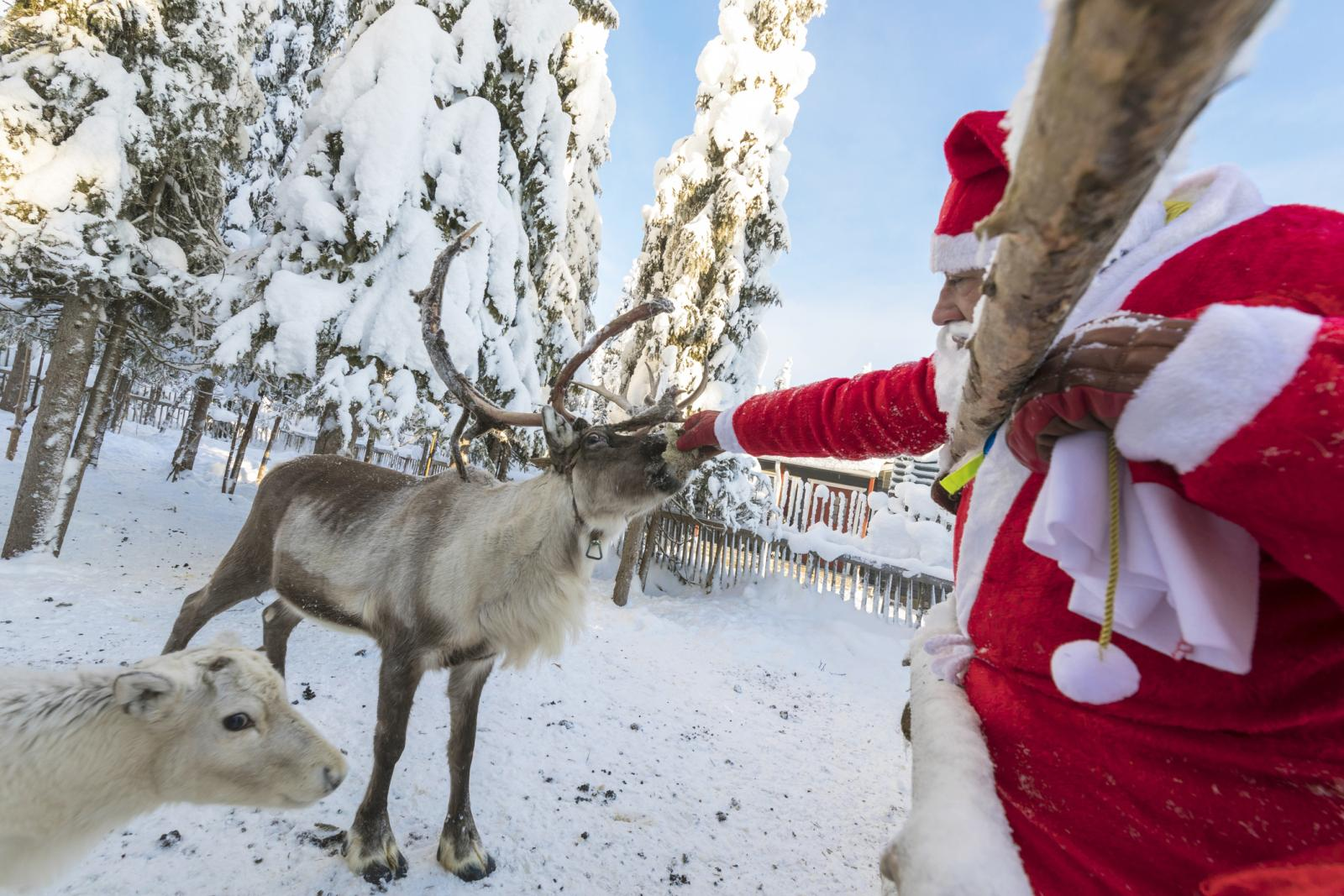 Santa Claus feeding reindeer in the snowy forest