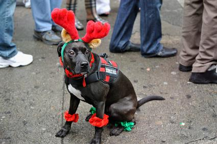 A dog wears a reindeer costume
