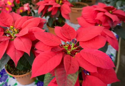 Poinsettia Flower Plant