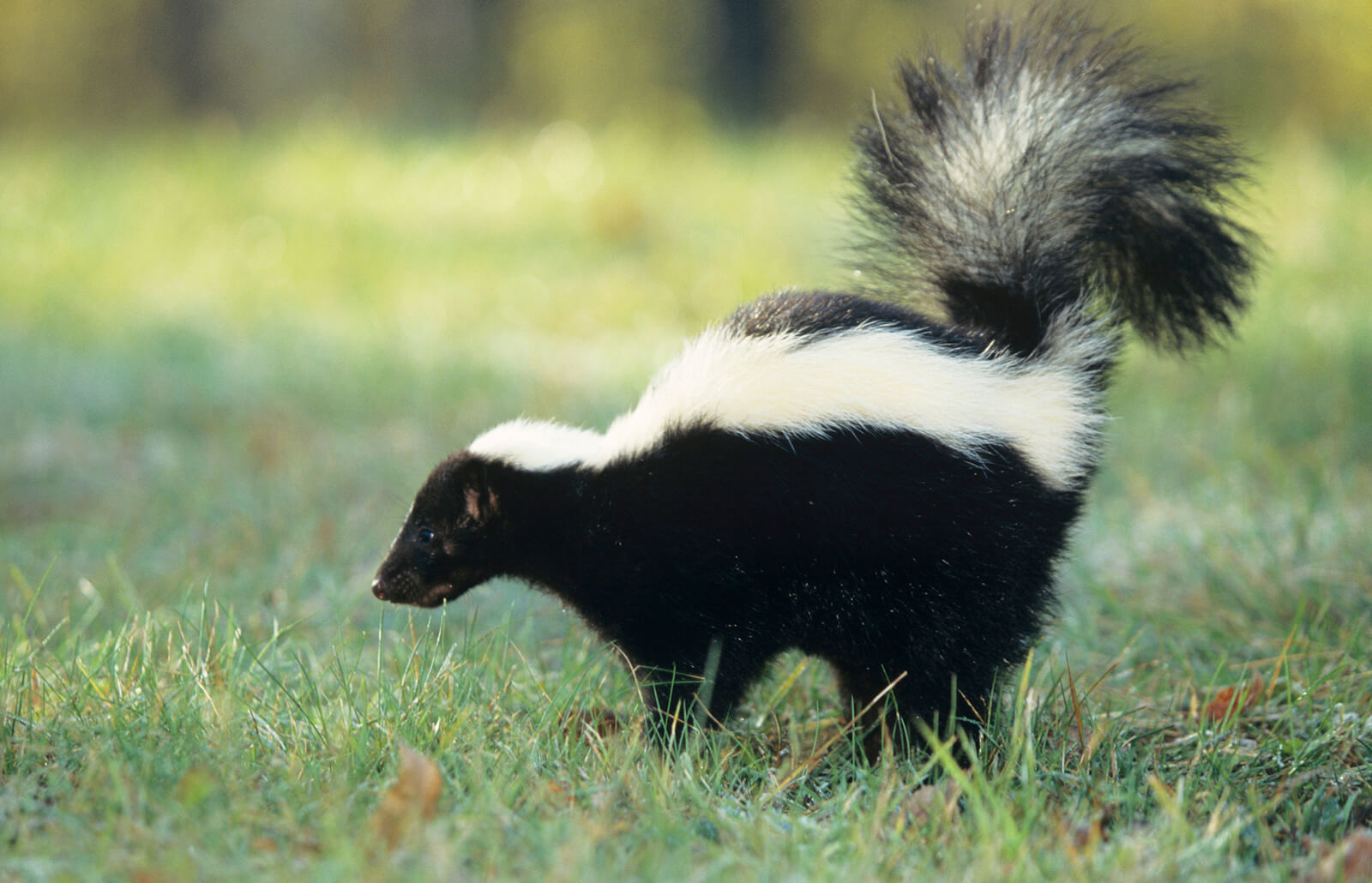 How to Get Rid of Skunk Smell in and Around the House   LoveToKnow