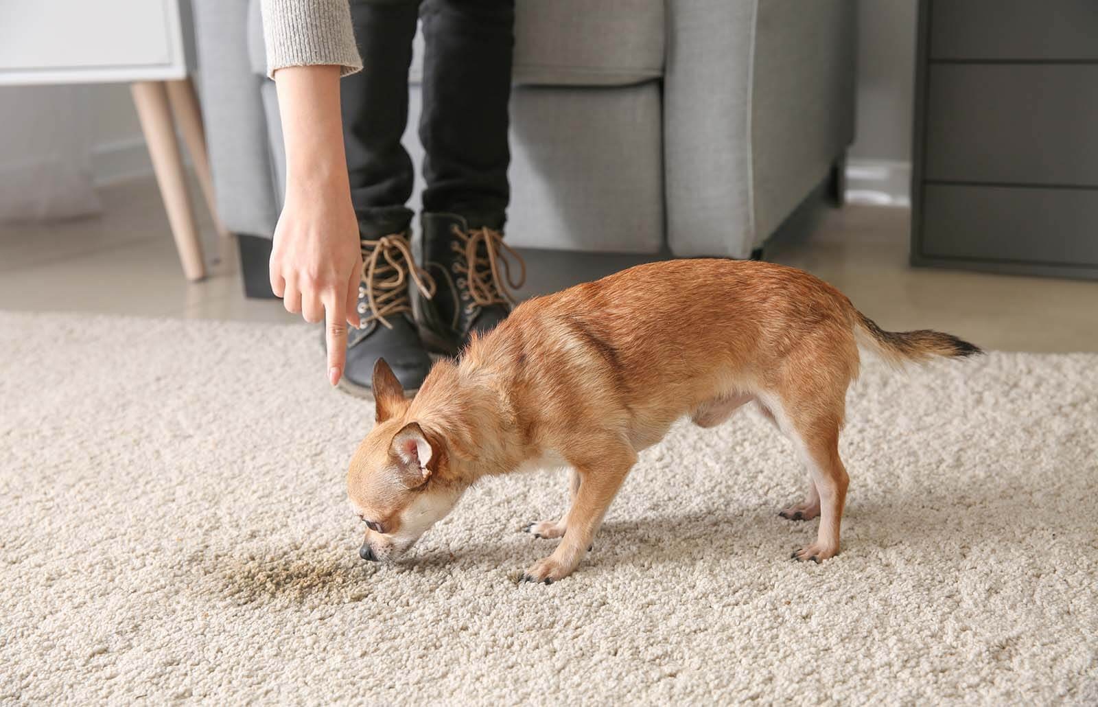 How to Remove Old Pet Stains From Your Rugs?