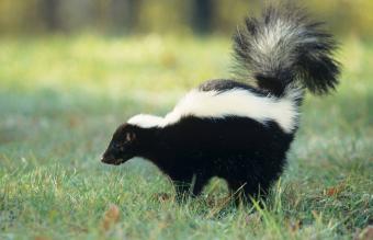Striped skunk spraying