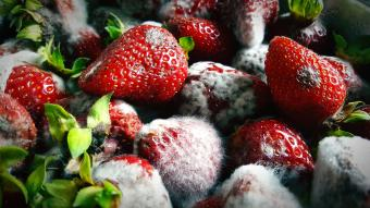 Strawberries with mold