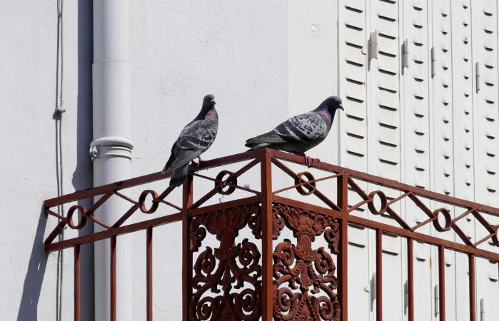Pigeons On Iron Railing