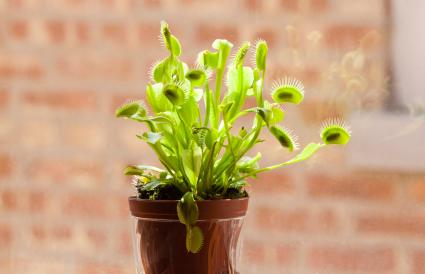 Venus Fly Trap Plant