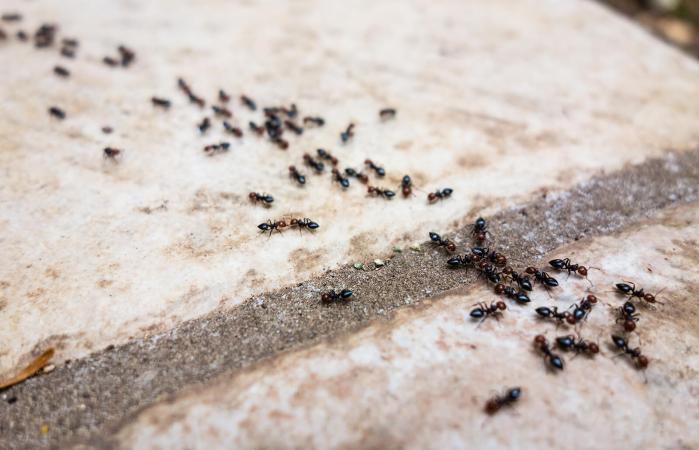 ants traveling in a row
