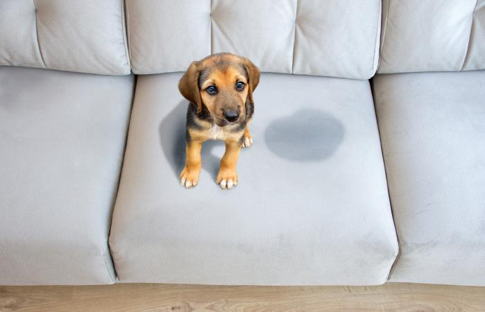 puppy sitting near wet spot on the sofa