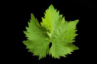 Vegetarian Grape Leaves