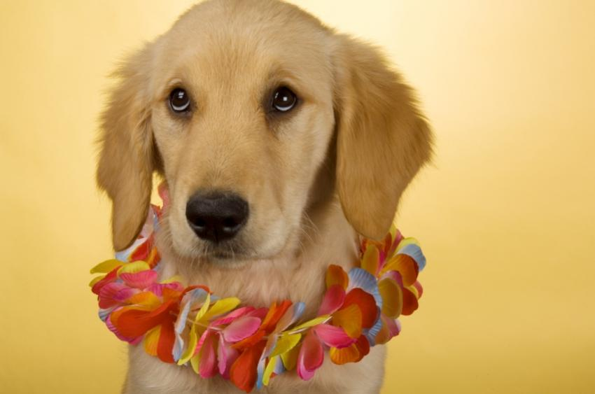 https://cf.ltkcdn.net/costumes/images/slide/105193-850x563-puppy_luau.JPG