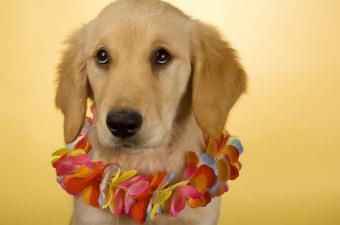 https://cf.ltkcdn.net/costumes/images/slide/105193-850x563-puppy_luau.JPG