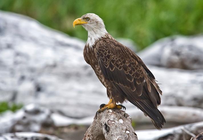 Bald-Eagle-side-view-TS.jpg