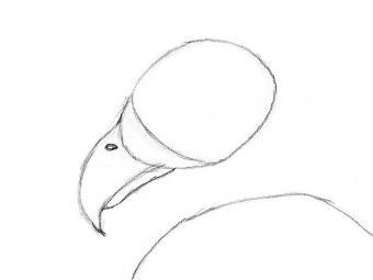 https://cf.ltkcdn.net/crafts/images/slide/179934-600x450-Bald-Eagle-Slide-4-Bottom-Beak-sm.jpg