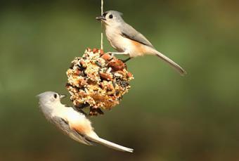 Birds on suet feeder