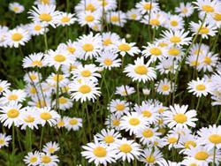 Daisy Flower Crafts