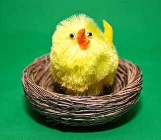 Chick in a Nest