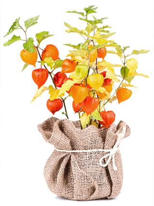 Chinese Lantern Flowers Fall Centerpiece
