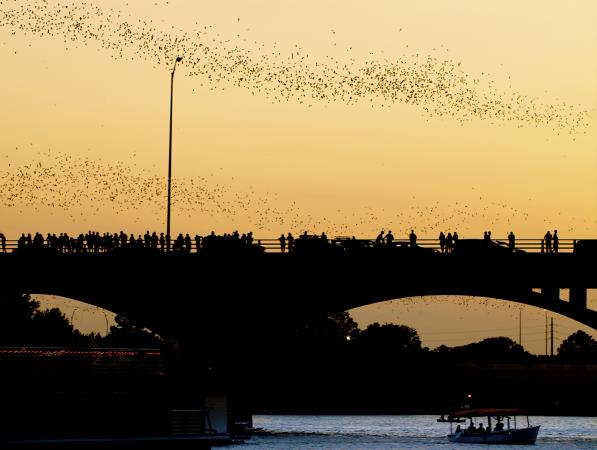 Bats over bridge in Austin
