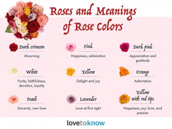 Rose and meanings of rose colors
