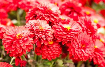 Red chrysanthemum flower with yellow core
