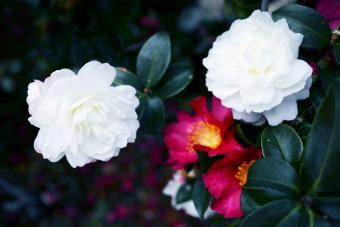 Lovely white camellia sasangua flowers