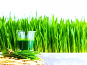 Shot glass of wheat grass