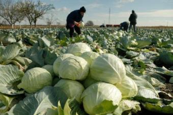cabbage burns fat