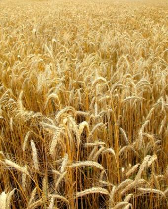 A Polish Wheat Field