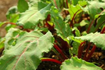 Why Are Beets Healthy?