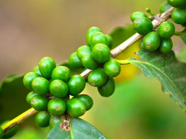 Green coffee beans growing on plant