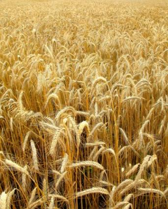 A Polish Wheat Field