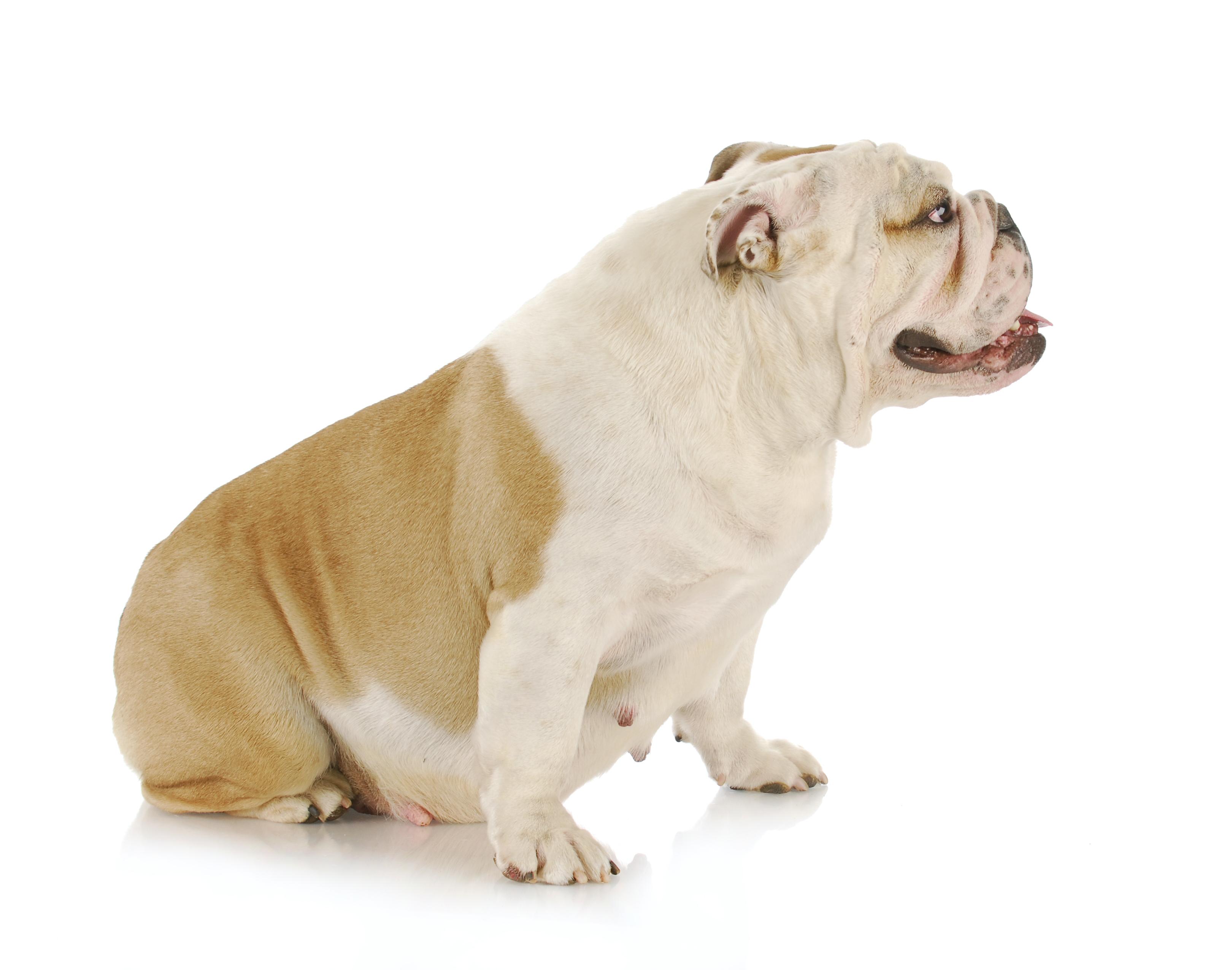 pregnant-dog2.jpg