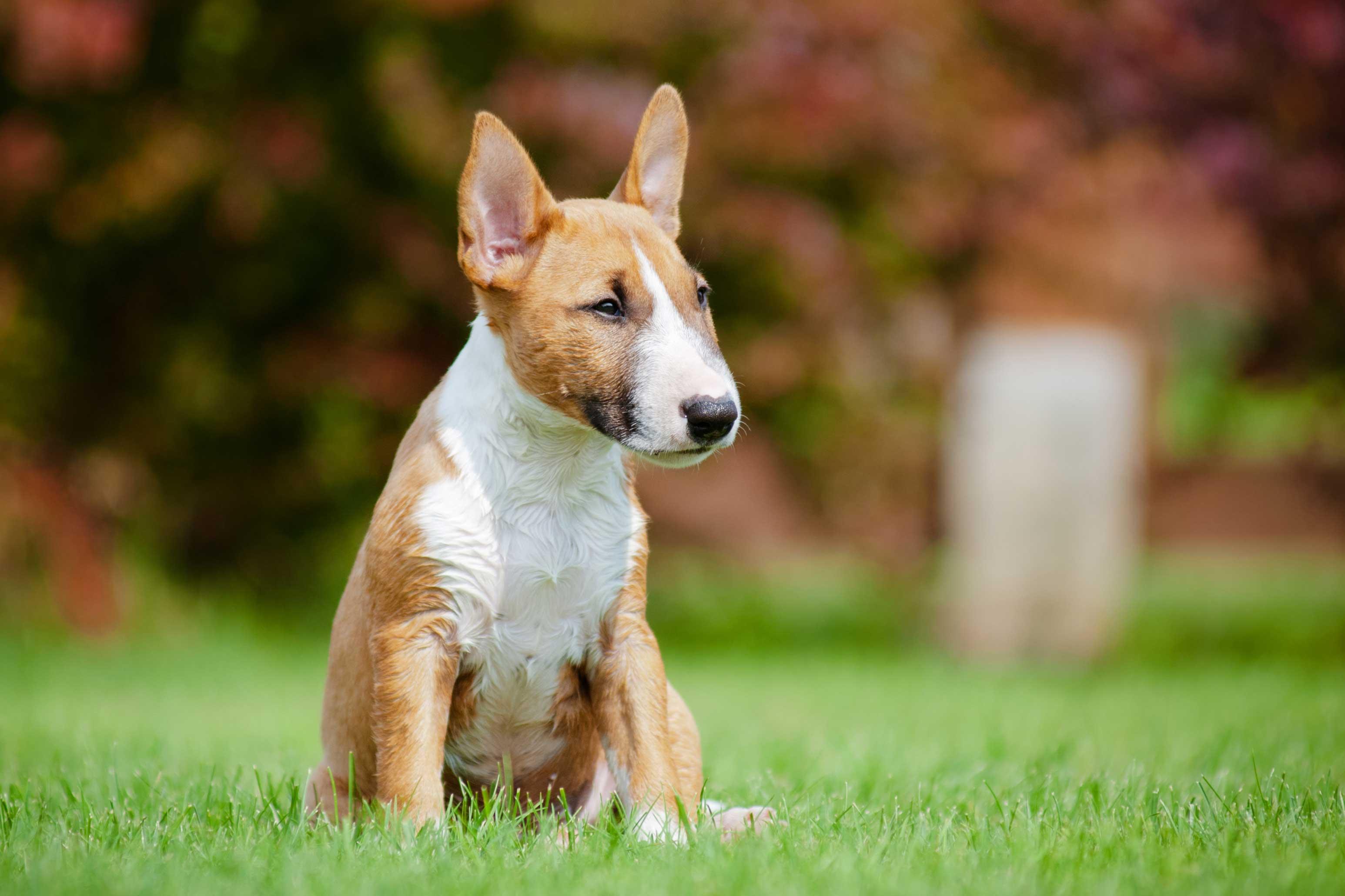 Miniature Bull Terrier Characteristics and Trainability | LoveToKnow