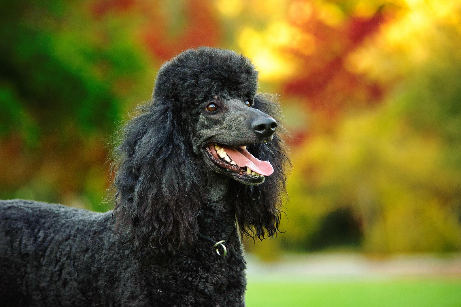 Standard-Poodle.jpg