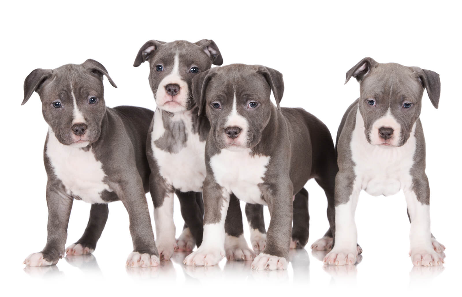 Blue Pit Bull Puppies Lovetoknow