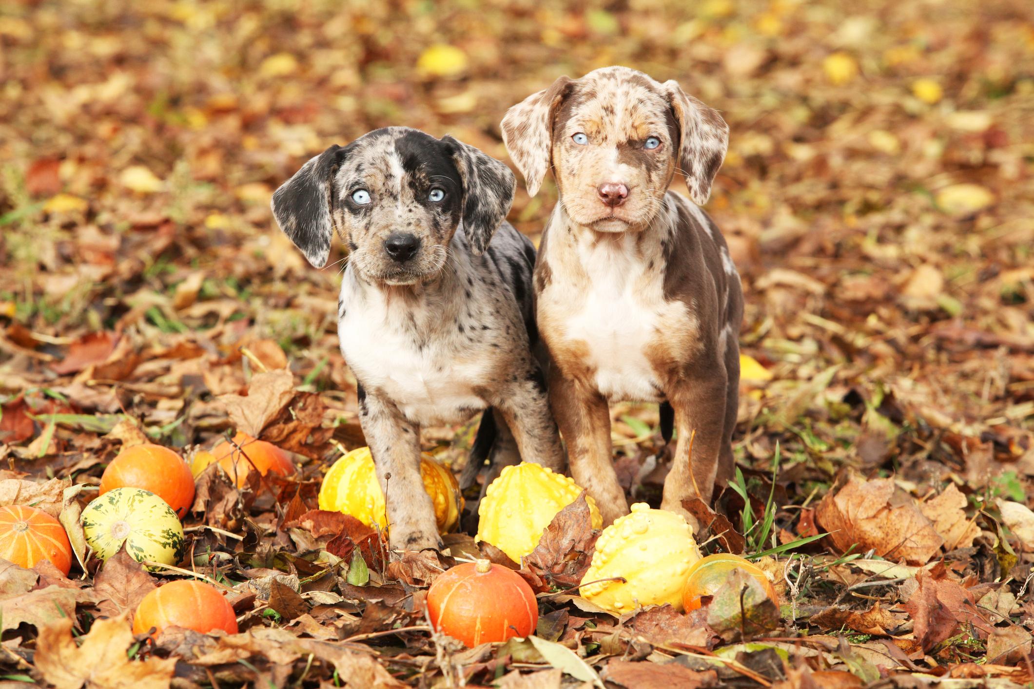 Catahoula Puppies Lovetoknow