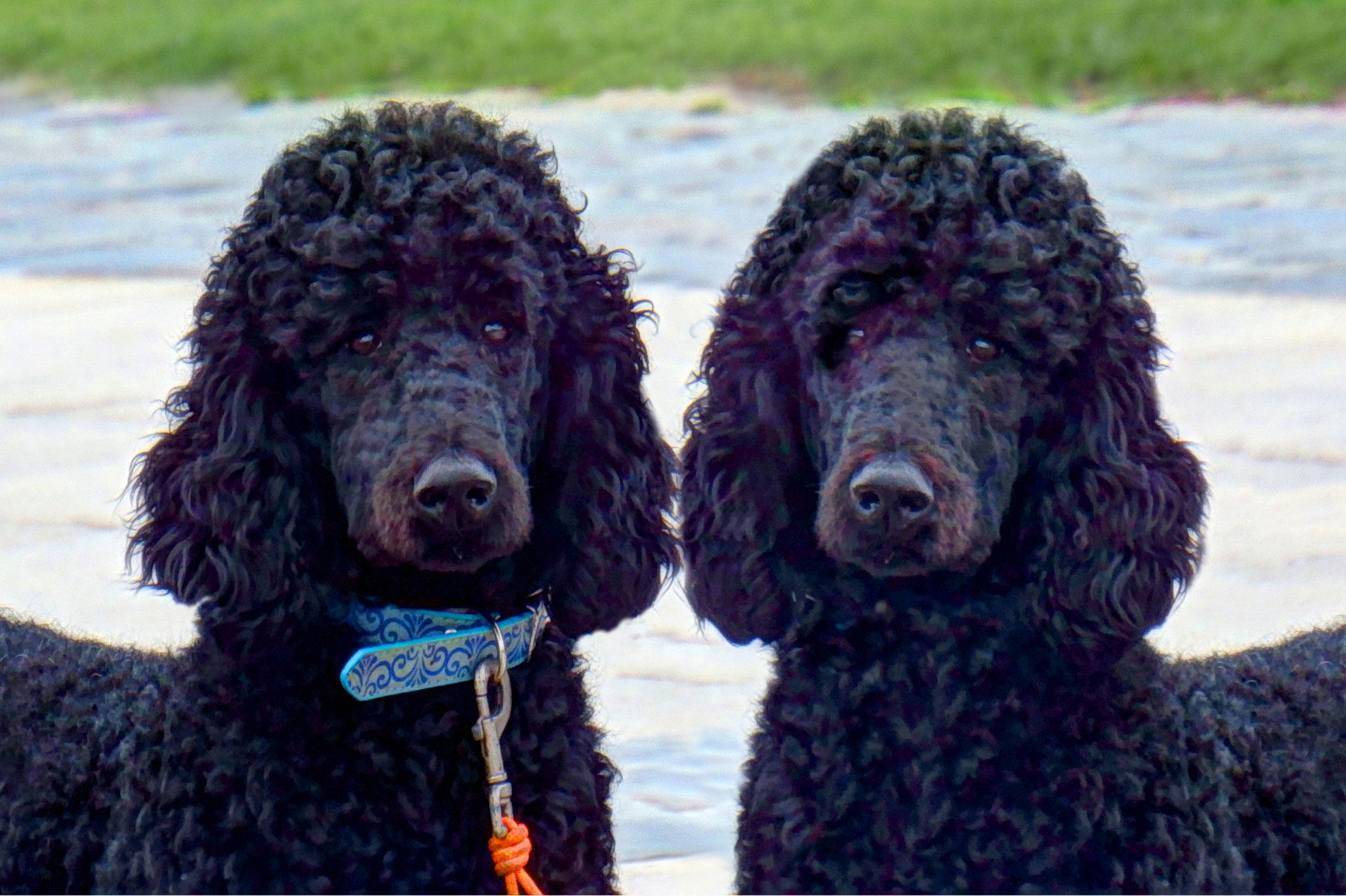 Standard Poodle Adoption | LoveToKnow