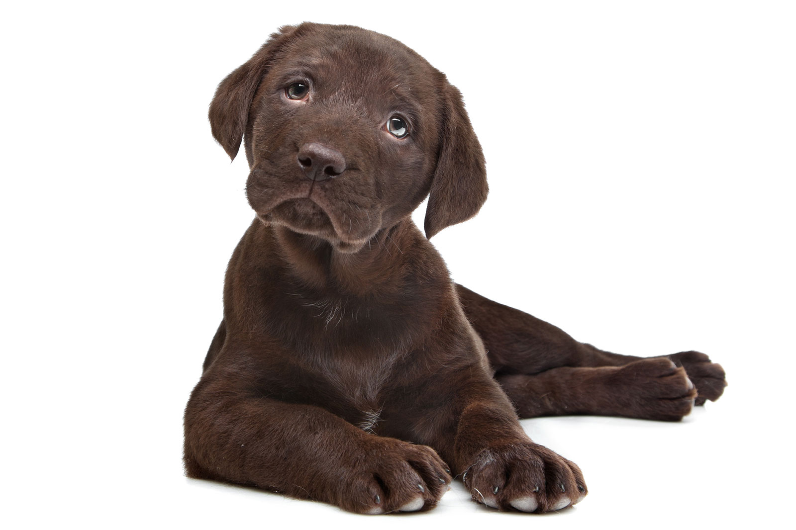 chocolate-lab-puppy.jpg