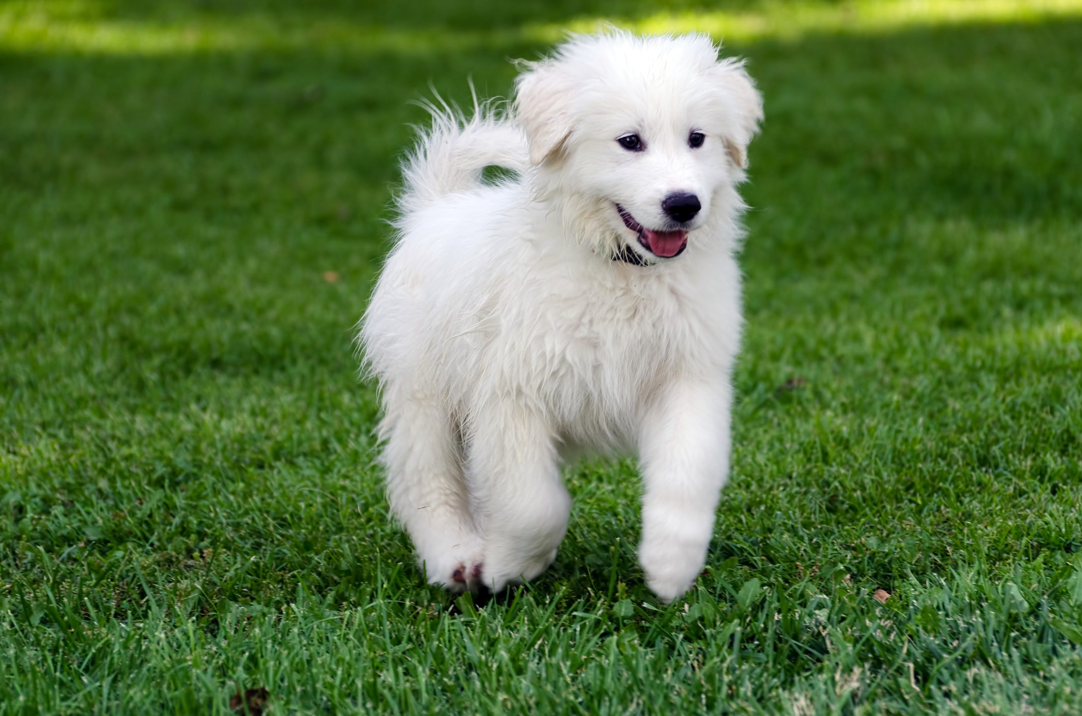 Guide To Great Pyrenees Puppies Lovetoknow