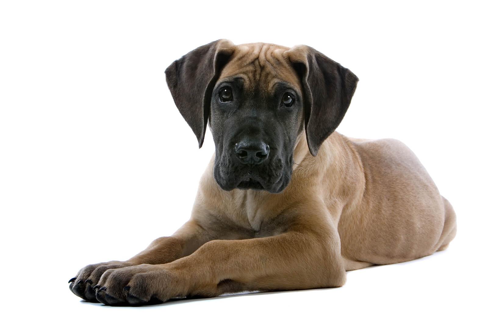 Great Dane Puppy Pictures Lovetoknow