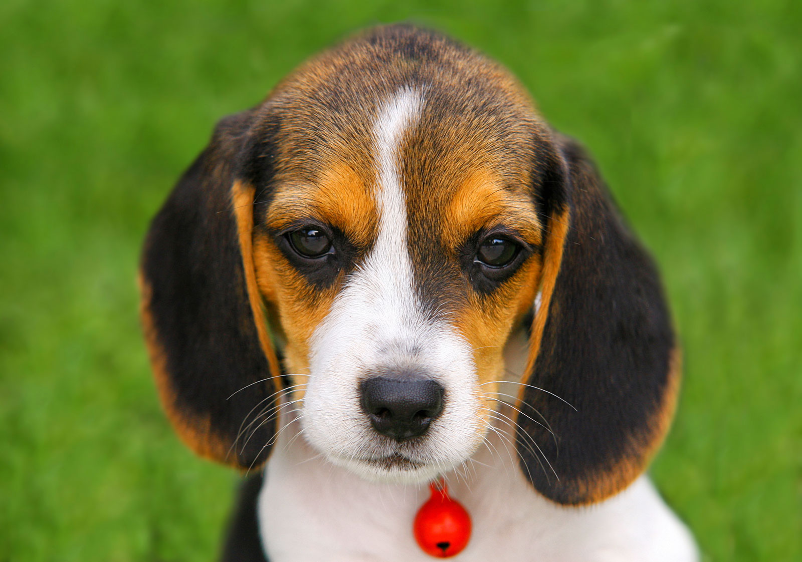 Beagle Puppy Pictures Lovetoknow