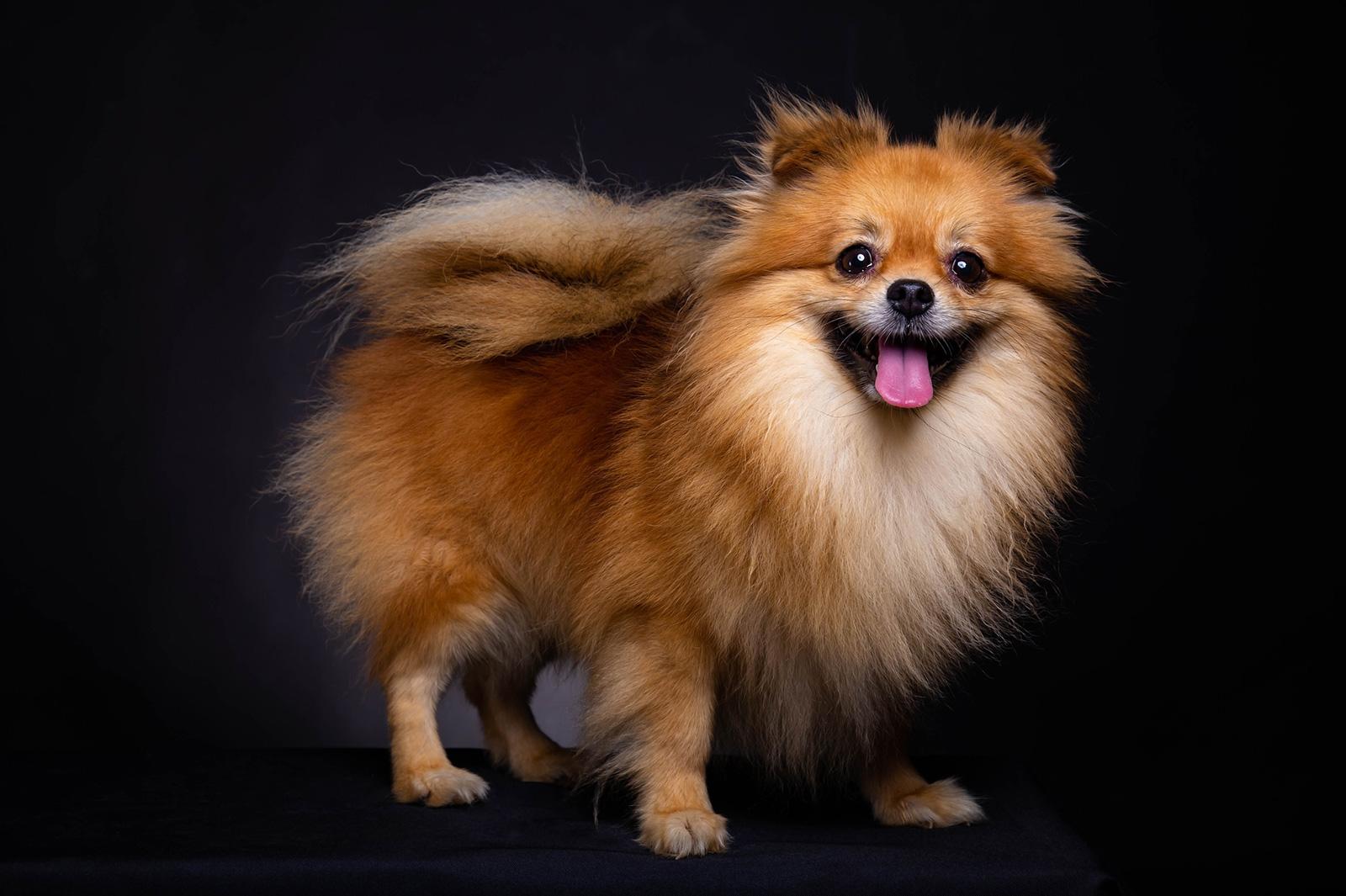 Adorable Pomeranian Puppies Lovetoknow