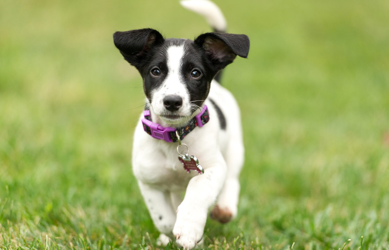 Jack Russell Terrier Traits And Temperament Lovetoknow