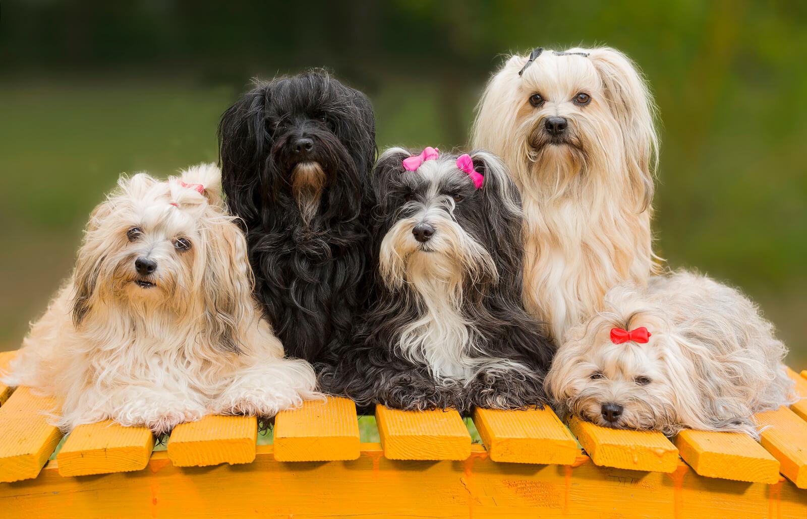 Havanese Dog Characteristics