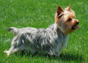 Yorkshire Terrier Rescue And Adoption
