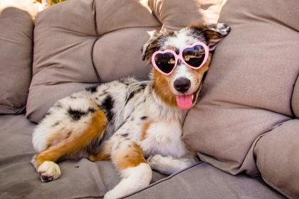 Australian Shepherd Puppy Wearing Heart Shaped Glasses