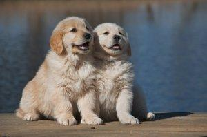 Two Golden Retriever pups at the lake